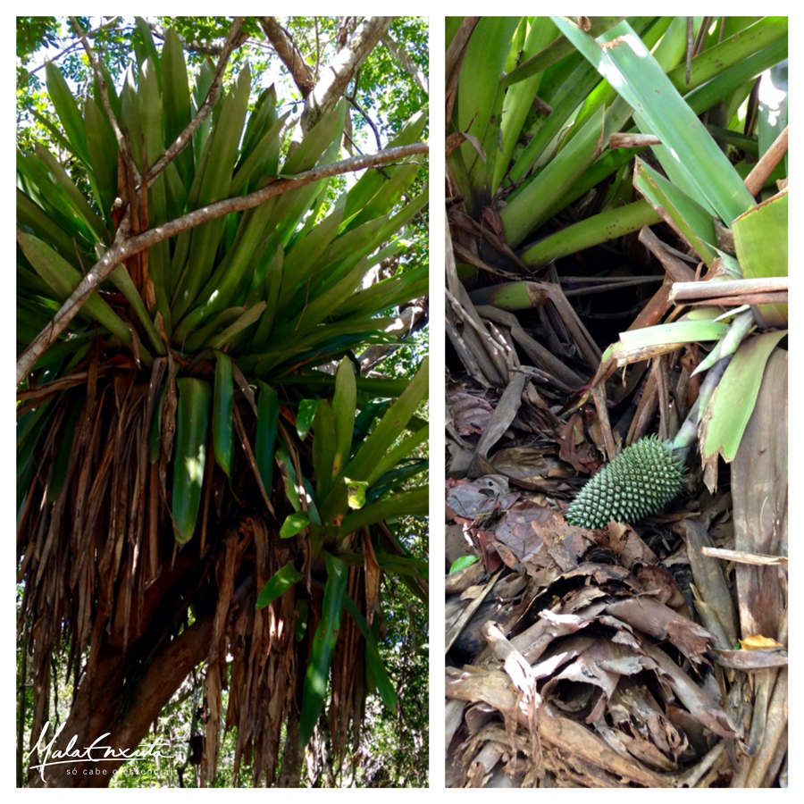 Bromélias- gigantes- Península- Maraú- Bahia